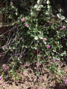 This is a Mirabilis, or 4 o'clock species. It could be the local native one (Mirabilis californica) or it could be an exotic – hard to tell from the photo. Theodore probably didn't sow these; they are scattered (not as common as buckwheat, but still frequently occurring) throughout the Santa Monica Mountains. Photo courtesy of Genny Arnold, The Theodore Payne Foundation