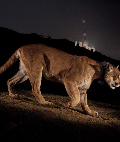 P22  under the Hollywood sign in the December 2013 issue of National Geographic Photo – Steve Winter