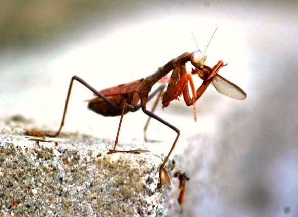Praying Mantis eating smaller bug. Photo Courtesy Laura Davis