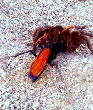 Tarantula dragging its prey. Photo courtesy Laura Davis