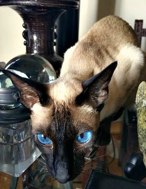 HGP on Durand Drive. Grand Champion RW, Acatami Award Crolins' Camellia.  Breed: Seal Point Siamese, Female